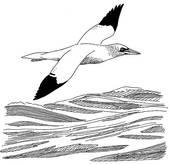 Gannet Illustrations and Stock Art. 11 gannet illustration and.