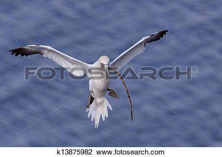 Clip Art of Gannet flying with nesting material in its beak.