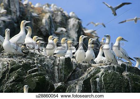 Stock Photo of (Northern) Gannet (Morus bassanus), breeding gannet.