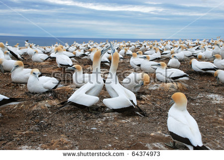 Gannets Cape Kidnappers Gannet Colony Hawkes Stock Photo 64374985.