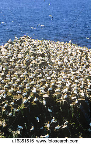 Stock Images of Gannet Colony, Cape St. Mary's Ecological Reserve.