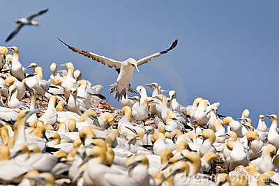 Northern Gannet Colony Royalty Free Stock Photo.