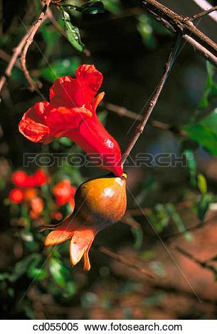 Stock Image of Pomegranate. Ganpatipule. Maharashtra. India.