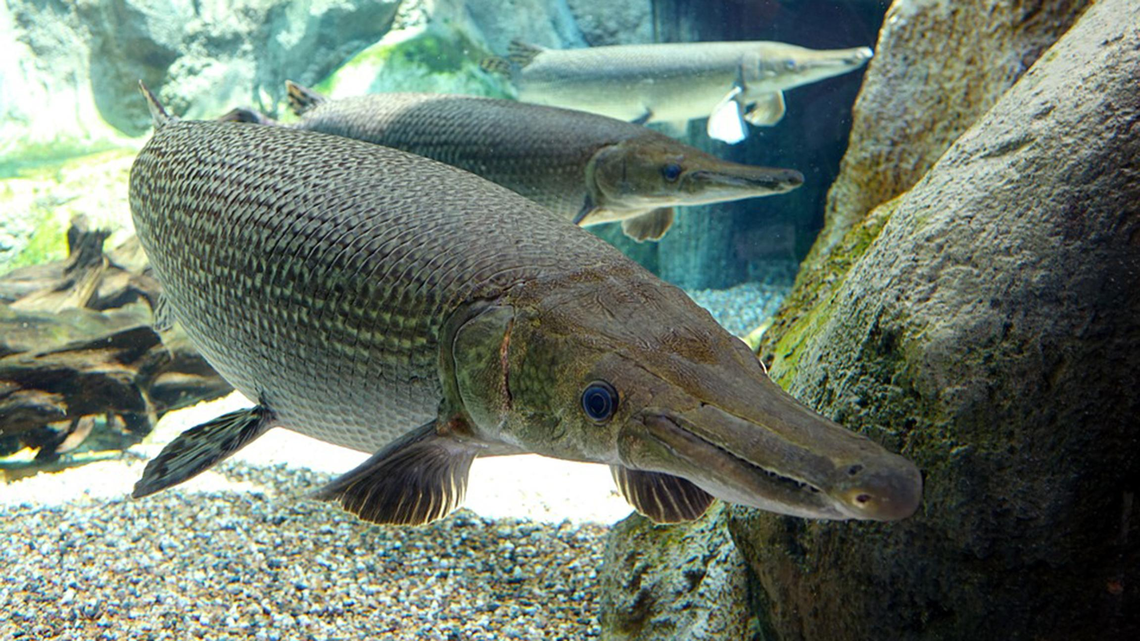 Alligator Gar Not Effective Weapon Against Asian Carp, Says.