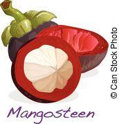 Garcinia mangostana Vector Clipart Illustrations. 9 Garcinia.