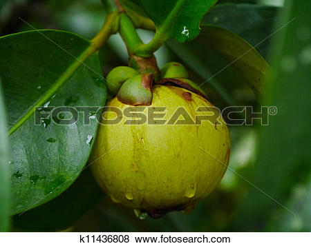 Pictures of fresh mangosteen (Garcinia mangostana Linn.) on tree.