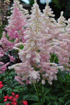 Astilbe is a medium height feathery looking plant. It even looks.