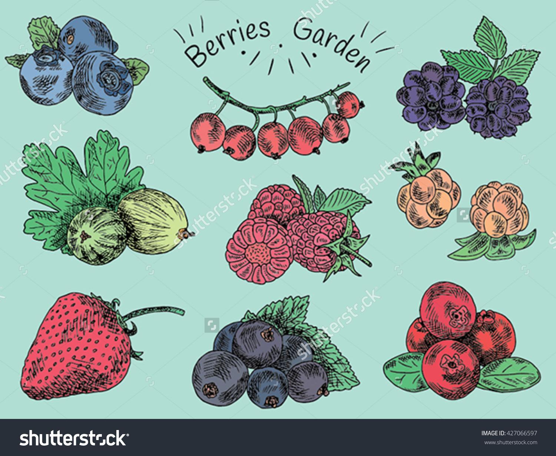 Berries Garden Blackberries Blackberry Boysenberry Currants Stock.