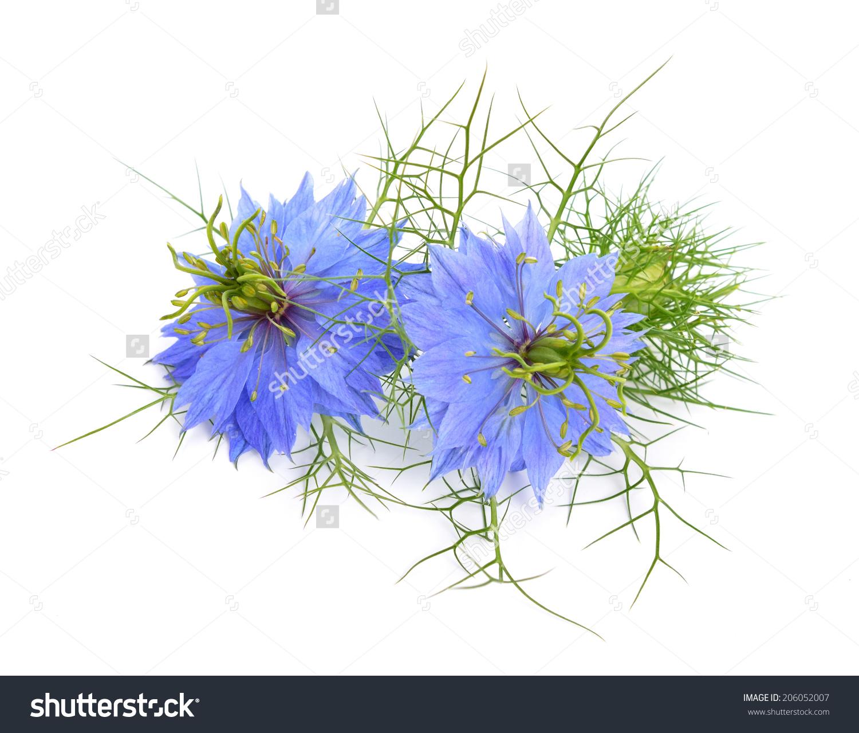 Nigella Sativa Fennel Flower Nutmeg Flower Stock Photo 206052007.