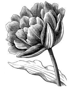 vintage flower clipart, early flowering chrysanthemum.