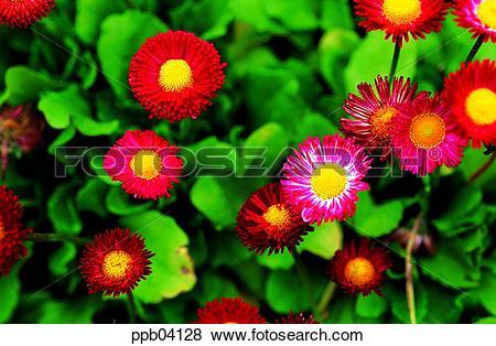 Pictures of park, chrysanthemum, flower, flower garden, day, daisy.