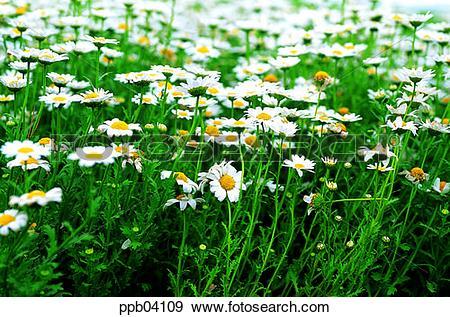 Stock Photograph of park, chrysanthemum, flower, flower garden.