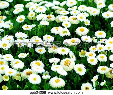 Pictures of park, chrysanthemum, flower, flower garden, day, daisy.