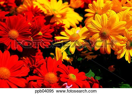 Stock Image of park, chrysanthemum, flower, flower garden, day.