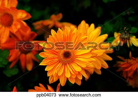 Stock Photo of park, chrysanthemum, flower, flower garden, day.