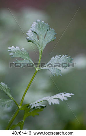 Stock Photo of USA, Florida, Jacksonville, Cilantro growing in.