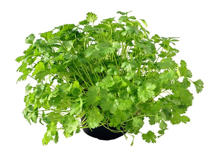 1000+ images about Grow & Assess: Coriander on Pinterest.