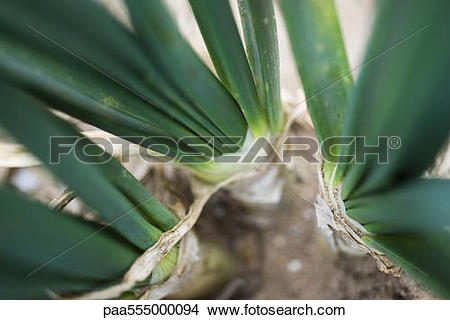 Stock Photo of Onions growing in vegetable garden, close.