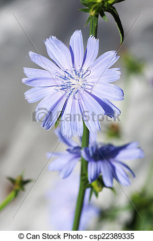Stock Photos of Chicory flower in the garden. Close up.