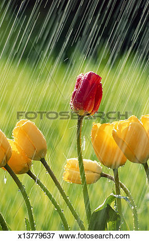 Picture of Tulips being watered in garden, close.