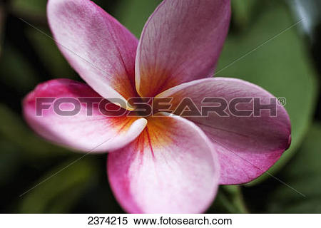Stock Image of Close up of vivid pink plumeria flower, Koko Crater.