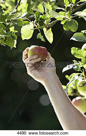 Stock Photography of Man picking apple from tree in garden, close.