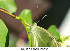 White butterfly in the garden close up Illustrations and Clipart.