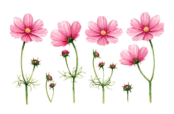 Cosmos Flowers Clip Art, Vector Images & Illustrations.