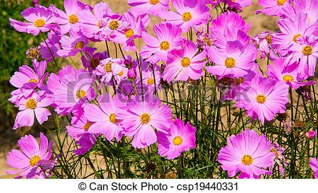 Stock Photos of Cosmos pink flower Family Compositae in garden.