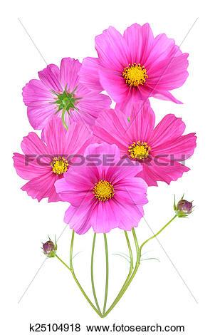 Stock Illustration of pink Cosmos k25104918.