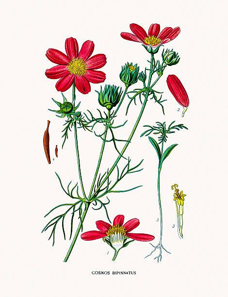 Garden Cosmos Clip Art, Vector Images & Illustrations.