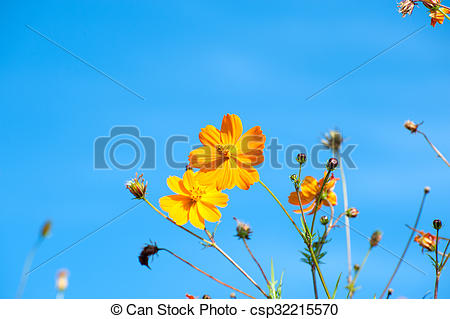 Picture of Cosmos bipinnatus, commonly called the garden cosmos or.