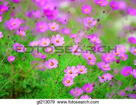 Stock Photograph of cosmos, Cosmosfall, autumn, garden, flower.