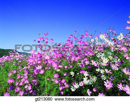 Stock Photography of cosmos, Cosmos, fall, autumn, garden, flower.