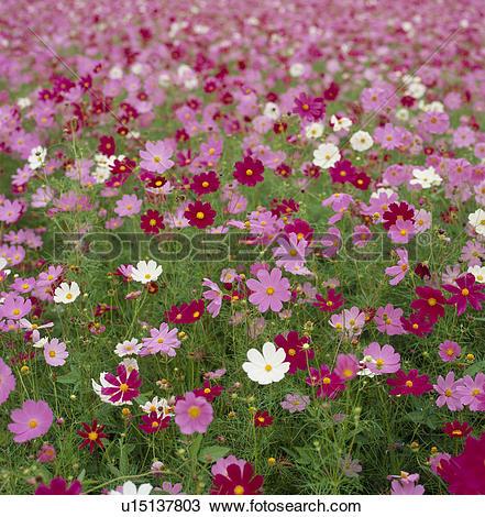 "Stock Photo of ""Cosmos Flower Garden, Yamanashi, Japan"" u15137803."