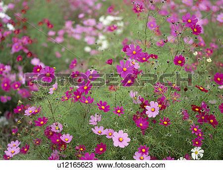 "Stock Photo of ""Cosmos Flower Garden, Yamanashi, Japan"" u12165623."