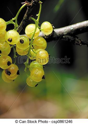 Stock Image of Garden white currant. Summer. csp0861246.