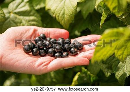 Picture of Woman harvesting Black currants (Ribes nigrum) from.