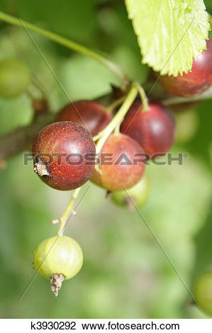 Stock Photo of A cluster of unripe black currant in the garden.