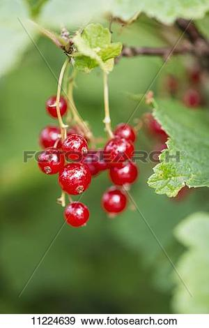 Stock Photograph of Red currants (Ribes rubrum) growing in a.
