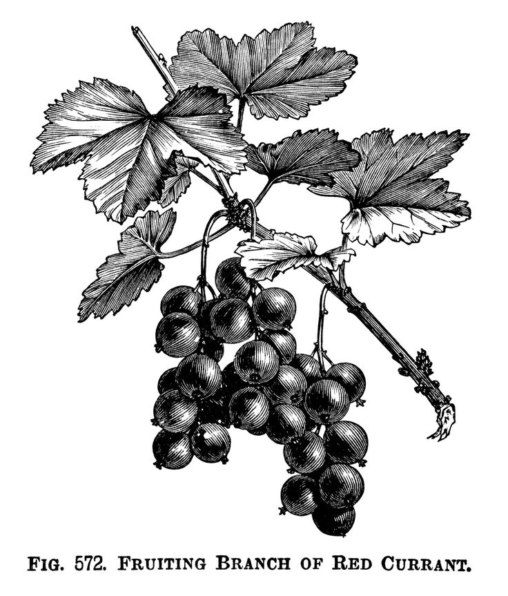 Fruiting Branch of Red Currant ~ Free Printable Vintage Clip Art.