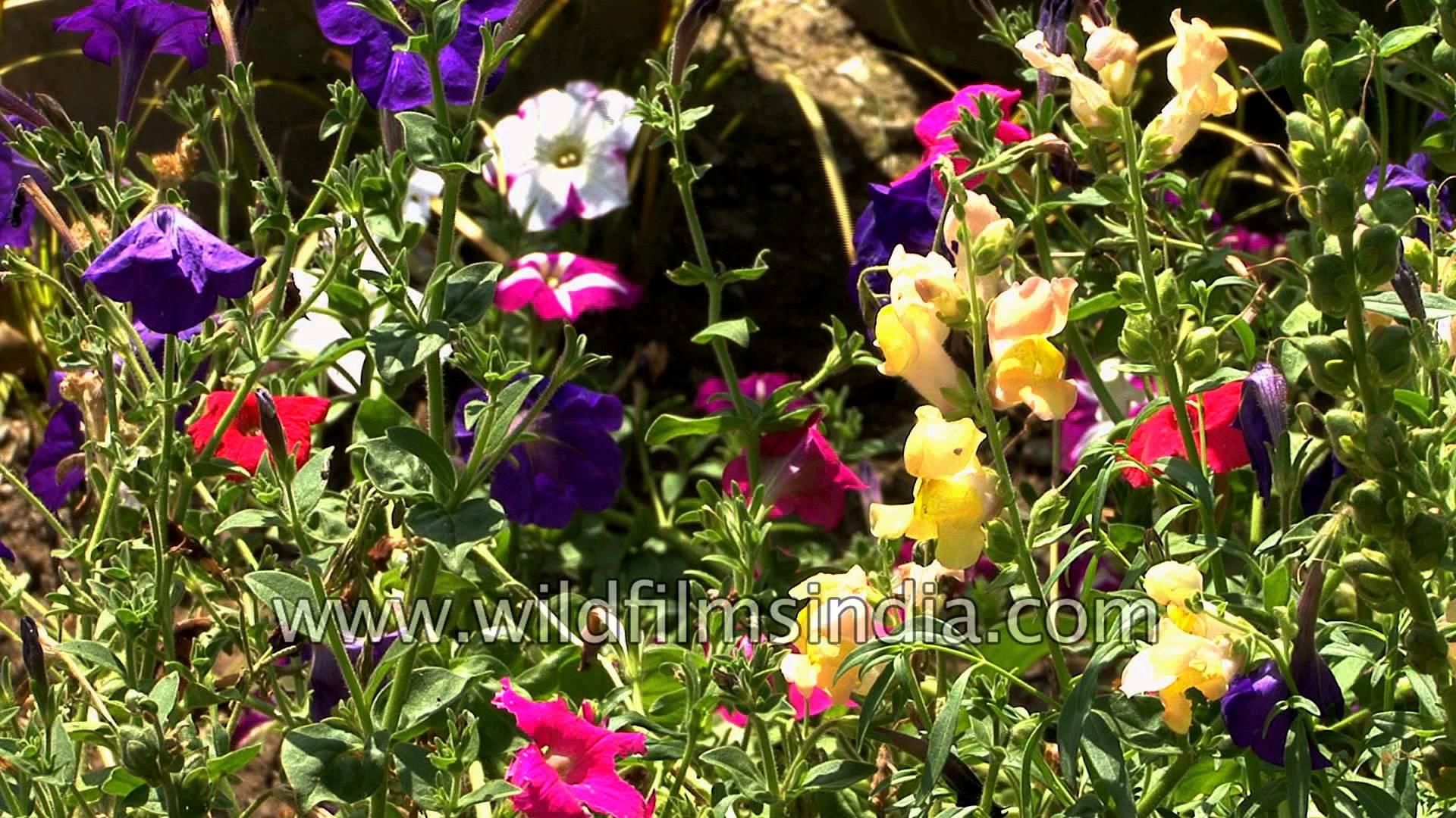 Garden Flowers: Godetia, Aster, Phlox, Petunia, Verbena, Francesia.