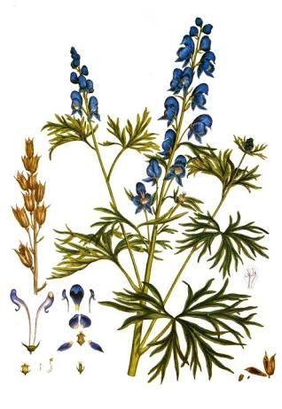 Aconitum Napellus.