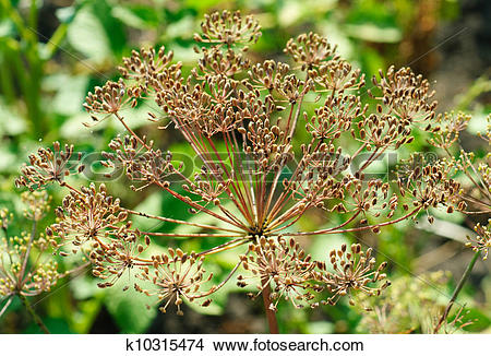 Stock Photo of fennel seeds in the garden k10315474.