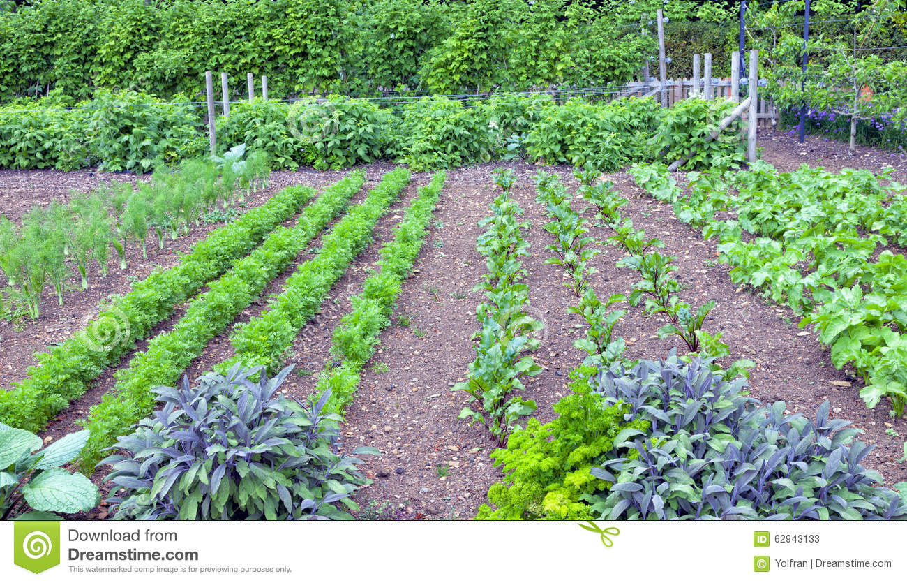 Herbs And Leaf Root Vegetables Growing In A Garden Stock Photo.