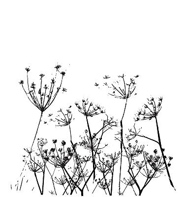Free fennel flower vector.