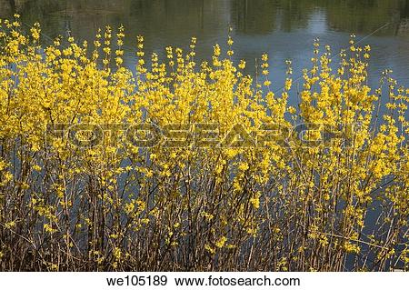 Stock Photograph of Northern Gold Forsythia shrubs in the spring.