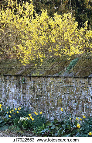 Stock Photo of Daffodils and forsythia in spring garden u17922563.