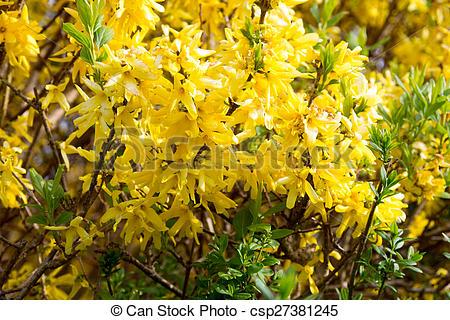 Stock Photo of Forsythia in a garden at spring csp27381245.