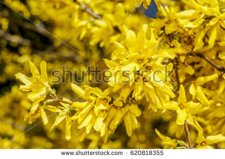 Forsythia Stock Images, Royalty.
